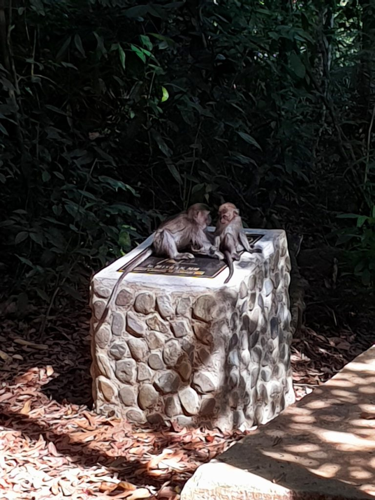 Macaques playing