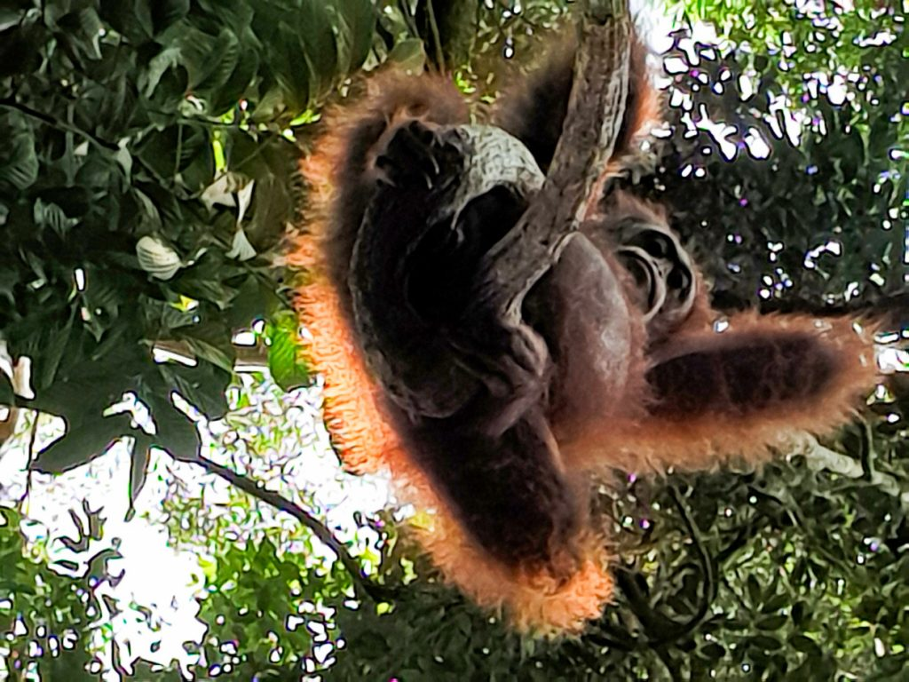 Orangutan hanging over us