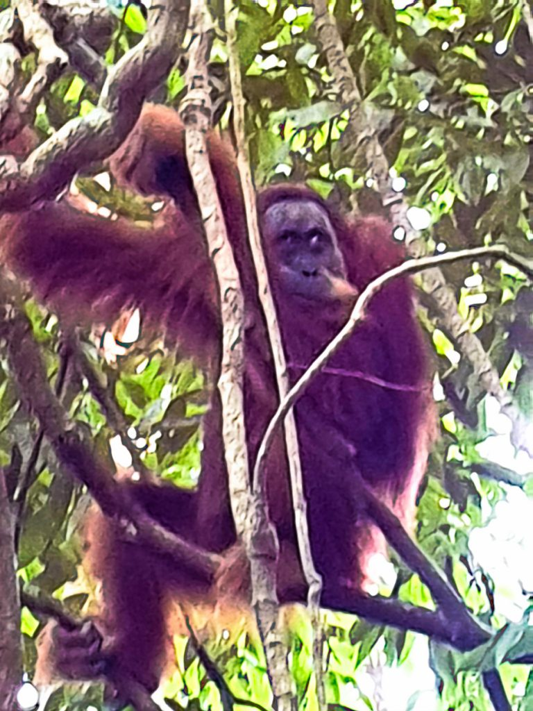 Unforgettable to see the orangutans