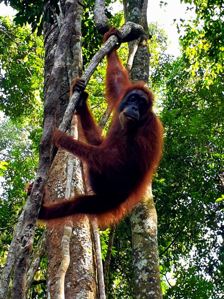 seeing an orangutan in the wild