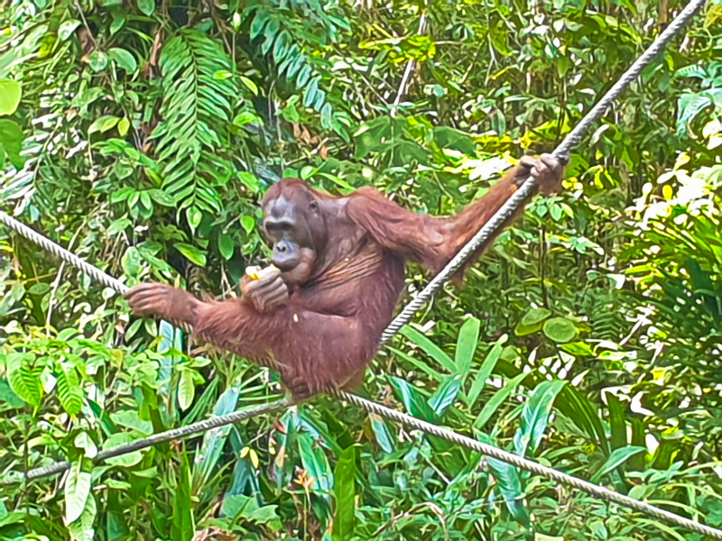 Orang-Utans in Borneo