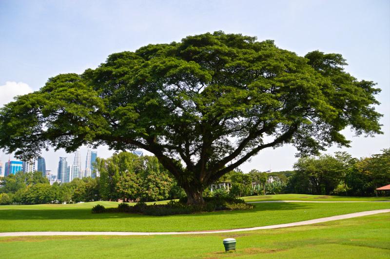 Rain Tree at Royal Selangor