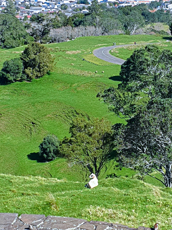 Sheep chilling at One Tree Hill