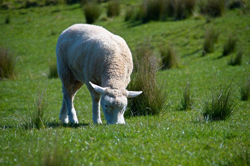 One Tree Hill Sheep
