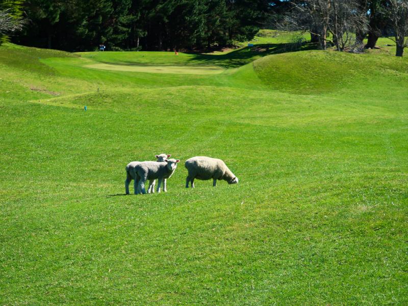 Sheep at Waverley Golf Club