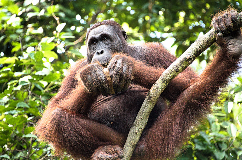 Orangutan enjoying his coconut