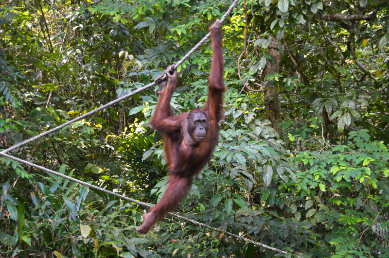 Orangutan on its way