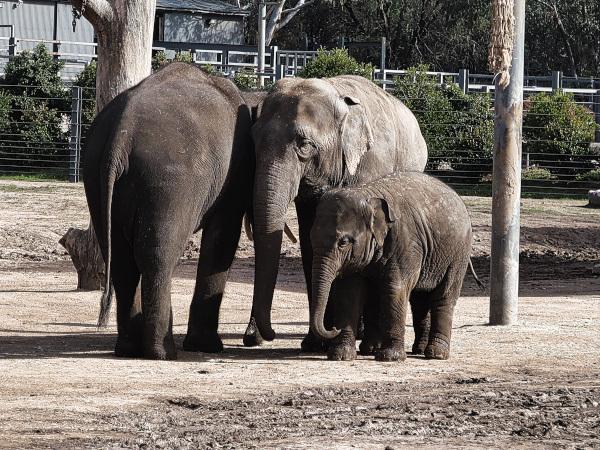 Dubbo Elephants