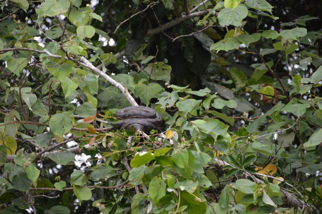 Scrub Python in the trees