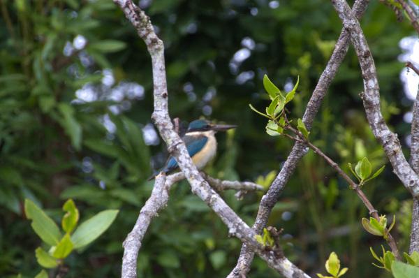 Secret Kingfisher