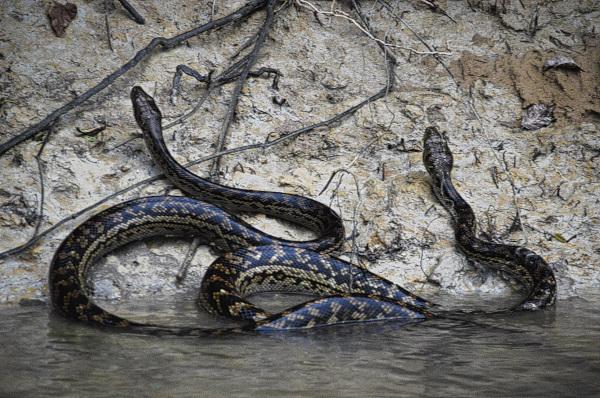 Solar Whisper Snakes