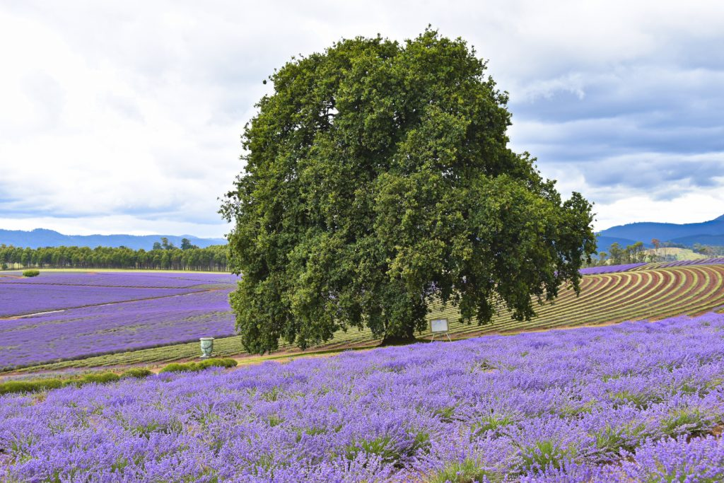 Famous tree at the Bridestowe Lavender Fields