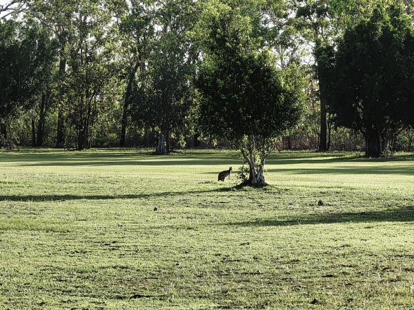 Wallabies at Humpty Doo and Rural Area Golf Club