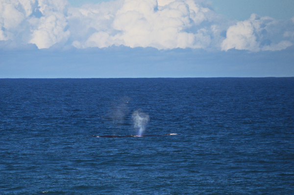 Whales at Hastings Point
