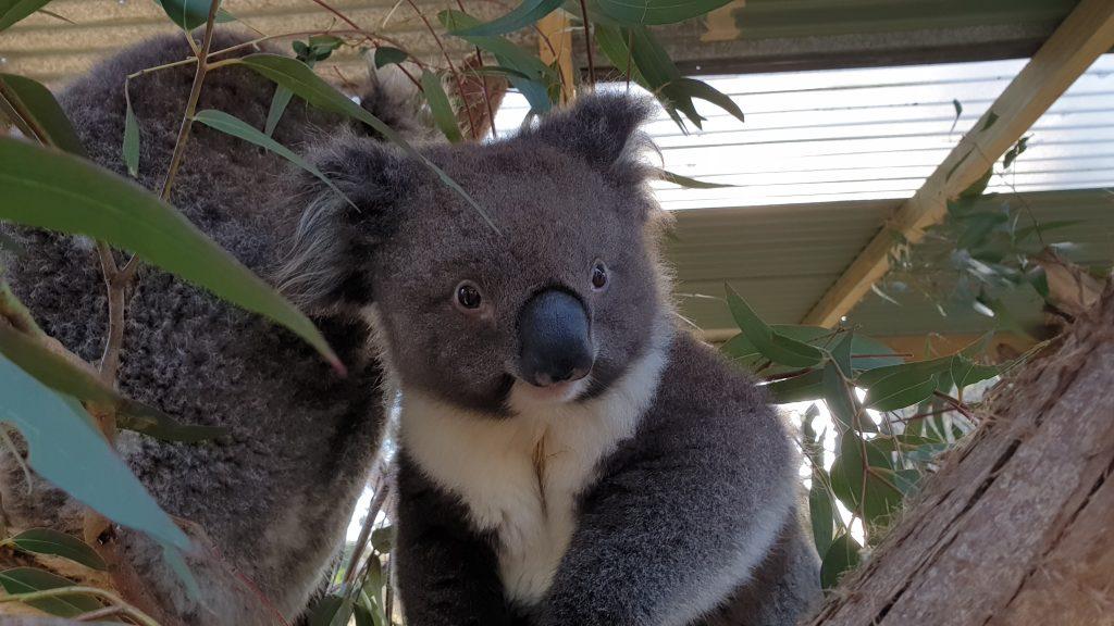 An Australian icon - the Koala