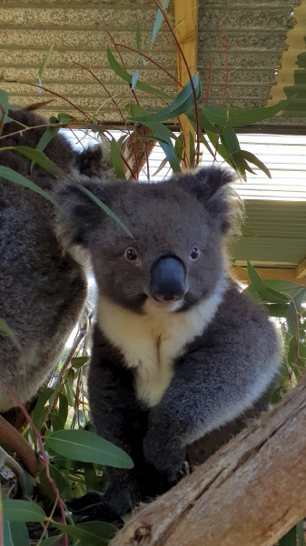 Bo, our sweet Koala Baby