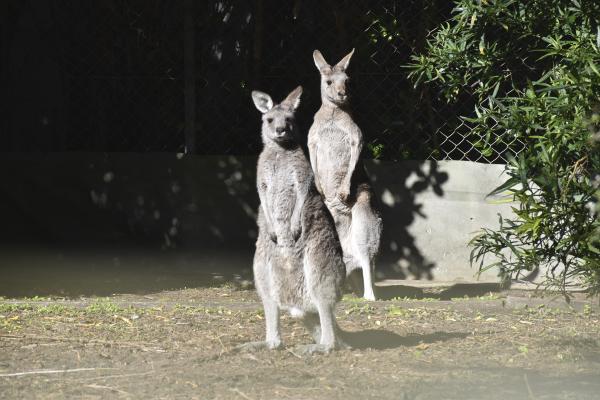 Curious Kangaroos at Jirrahlinga