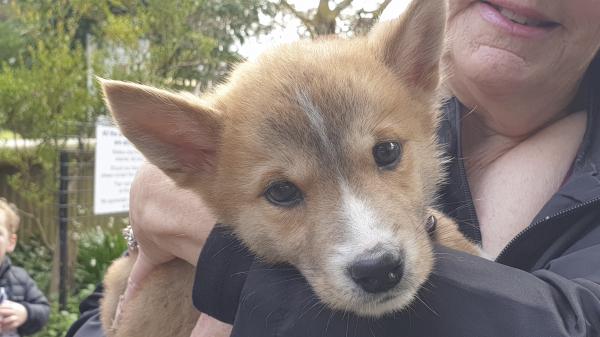 Dingo Puppie at Jirrahlinga