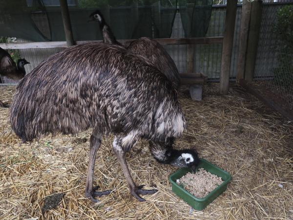 Emu Feeding at Jirrahlinga
