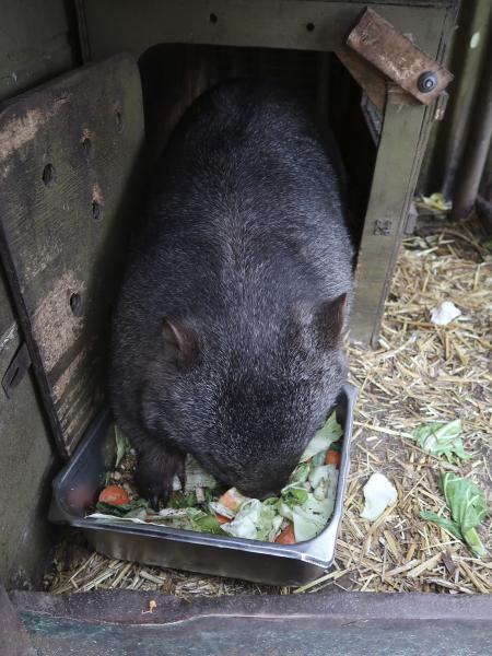 Hungry Wombat Jirrahlinga Koala und Wildlife Sanctuary