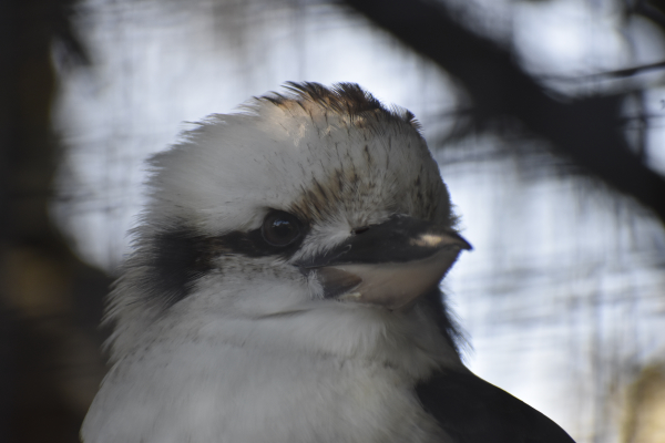 Kookaburra at Jirrahlinga