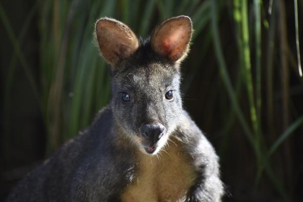 Wallaby waiting for Food at Jirrahlinga