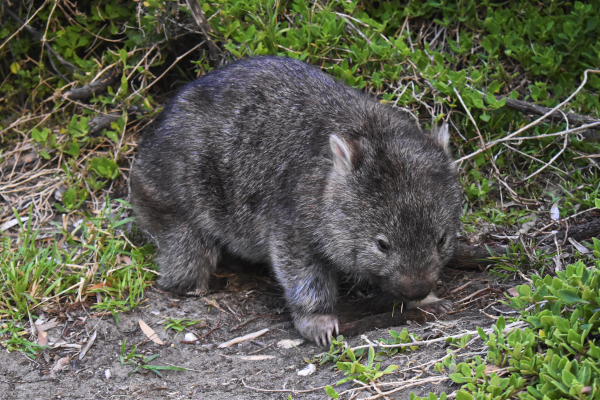 Cute Wombat at The Prom