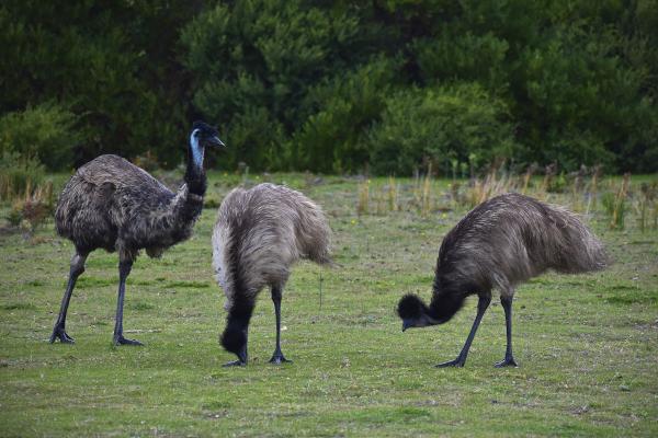 Emus at Wilsons Promontory