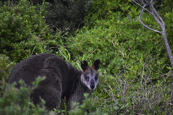 Sighting a kangaroo at the Wilsons Promontory Campground