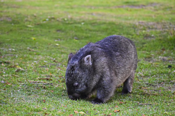 Wombats are everywhere at the Wilsons Promontory